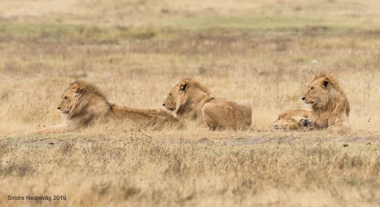 Leeuwen in Ngoro ngoro