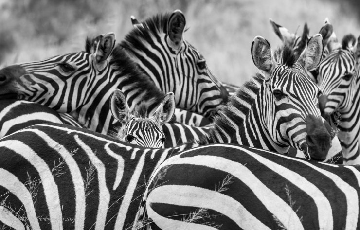 Zebra's in Serengeti