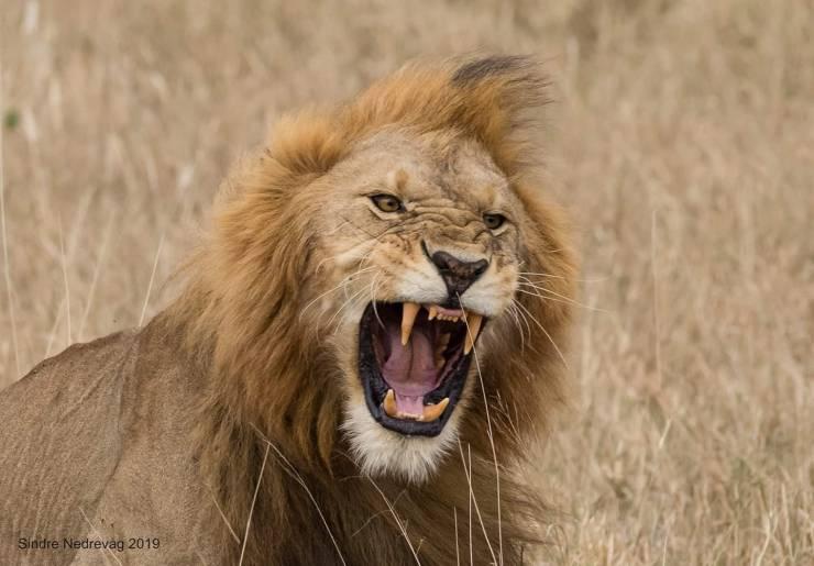Leeuw in Serengeti