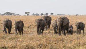 Kudde olifanten in Serengeti