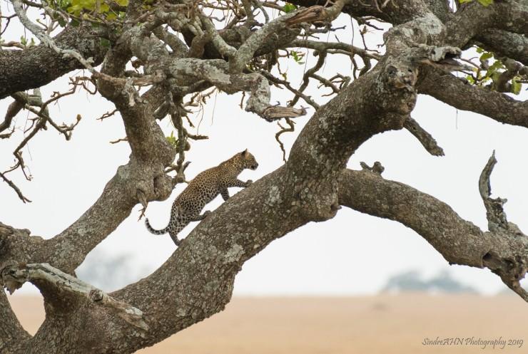 Baby luipaard in Serengeti