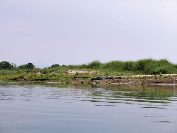 Chitwan krokodil