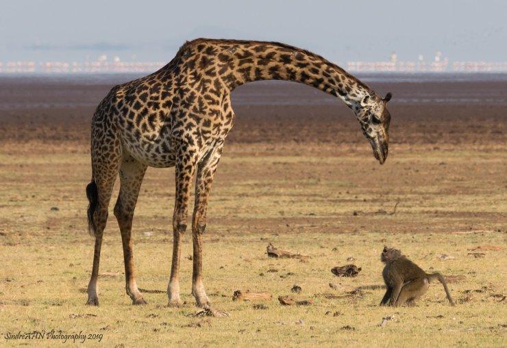 Lake manyara tanzania giraf