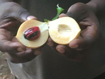 Nootmuskaat op spice tour Zanzibar