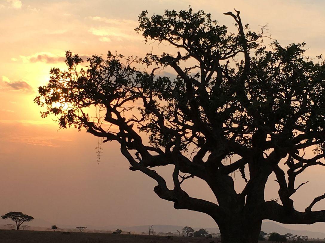 Afrika baobab