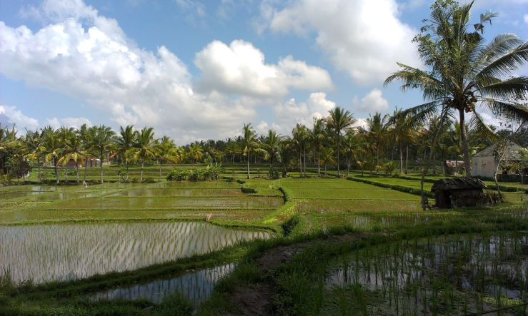 Bali ubud rijstvelden